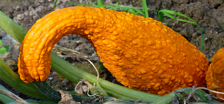 Q 23. WHAT VEGETABLE IS THIS?