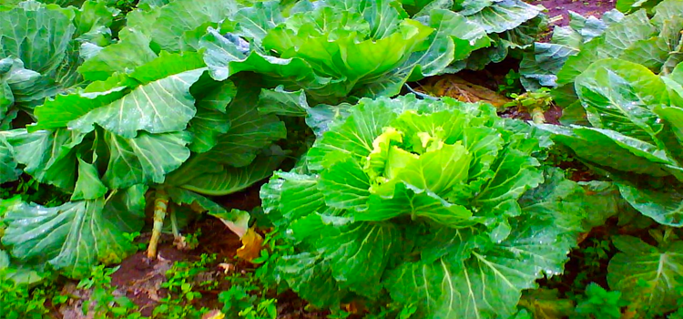 Q 25. WHAT VEGETABLE IS THIS?