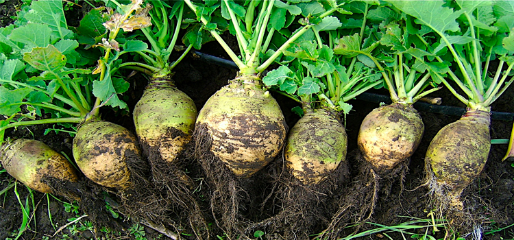 Q 26. WHAT VEGETABLE IS THIS?